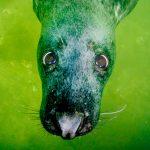 Grijze zeehond onder water