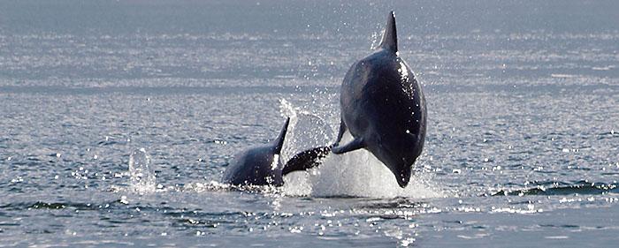 Springende dolfijnen (tuimelaars)