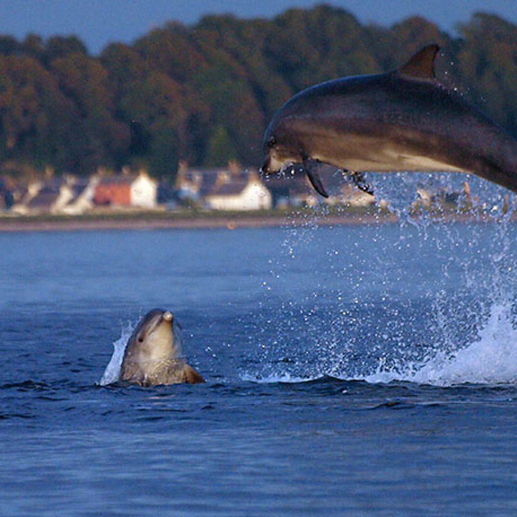 Springende dolfijn, tuimelaar. In de Noordzee