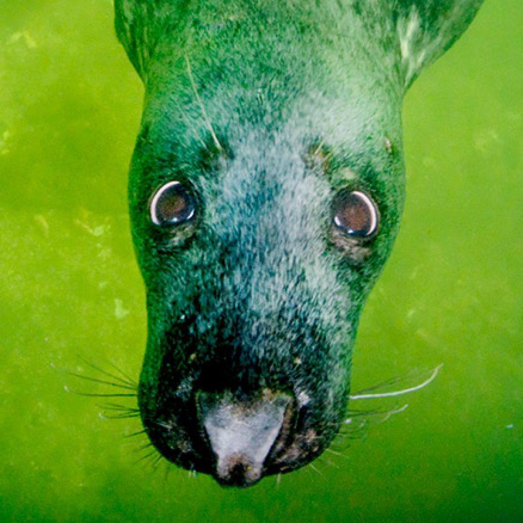 Nieuwsgierige grijze zeehond. Onderwater zijn ze totaal niet schuw