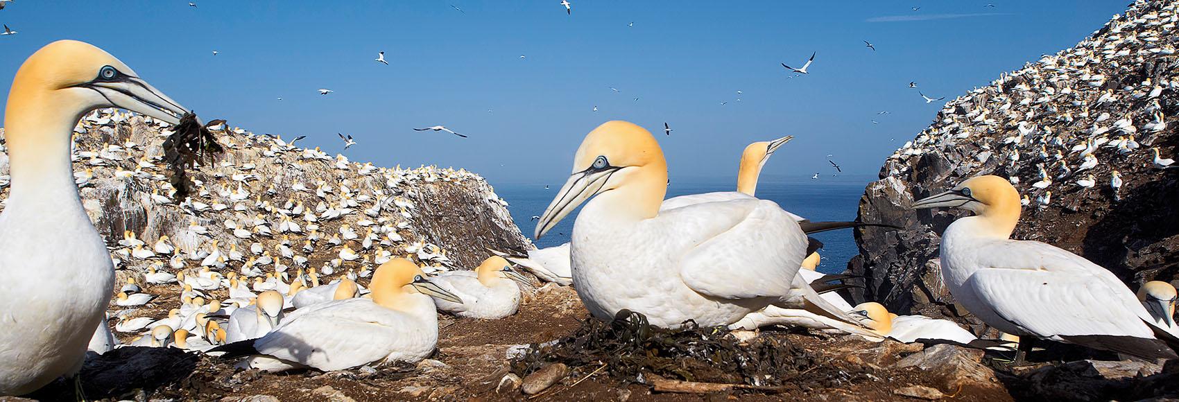 Jan van Gent broedkolonie Bass Rock, Noordzee; Gannet breeding colony. Morus Bassanus