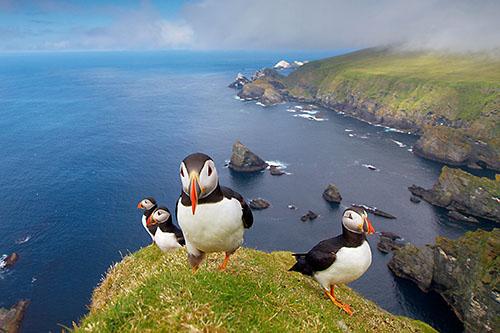 Papegaaiduikers langs de kust, Noordzee, Schotland