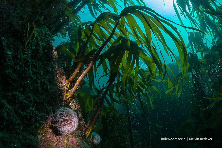 zee-egel en kelp in de Noordzee