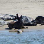 Grijze zeehond Waddenzee - op zoek naar zeehond met visnet