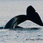 Orka's durf staart in de Noordzee - melvin-redeker