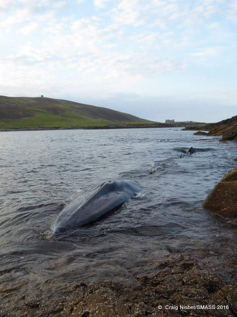 Reddingspoging gestrande walvis
