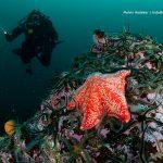 Rode zeester (porania) in de Noordzee - Melvin Redeker