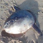 Mola Mola aangespoeld op Noordzeestrand