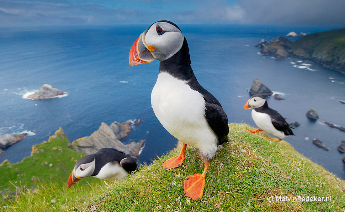Papegaaiduikers Shetland In de Noordzee