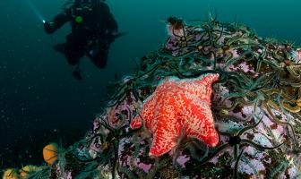 Rode zeester in de Noordzee