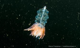 Bijzonder diertje tussen het plankton