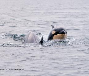 Orka's terug in de Noordzee!