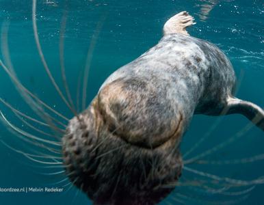 'True love is born from understanding' – Een zeehond als duikvriend. Bekijk de video >>