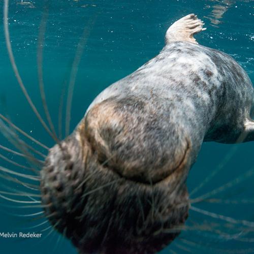 Grijze zeehond begroet duiker