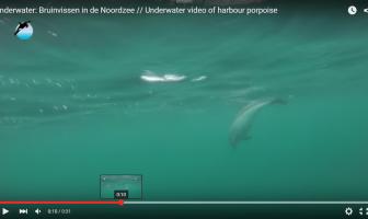 Onderwaterbeeld bruinvissen in de Noordzee (video)