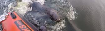 Trouwe lobbes van een zeehond (video)