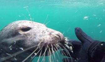 Een zeehond als duikvriend (video)