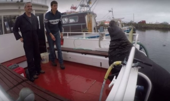 Video: Dikke zeehond klimt aan boord
