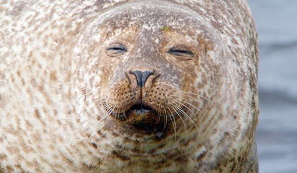 Gewone zeehond - Noordzee
