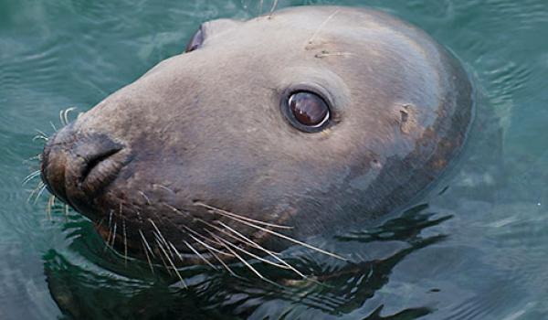 Grijze zeehond - Noordzee