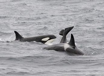 Orka's in de Noordzee? Volg onze zoektocht. Bekijk de video & lees het verhaal>>