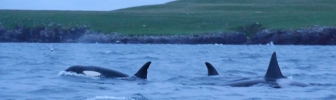 Orka's rond onze boot! (video)