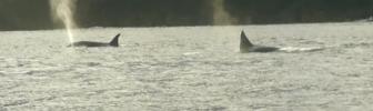 Orka's op jacht (video)