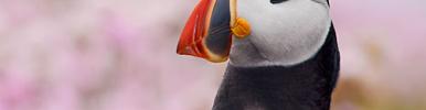 Onhandige papegaaiduikers. Bekijk de video >>