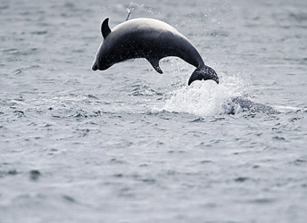 Springende dolfijnen, duikende jan van genten, spyhopping orka's. Bekijk de video >>