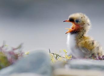 Bekijk hoe dit kuiken geborgenheid zoekt onder moeders vleugels >>