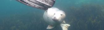 Zeehond drukt snuit tegen camera (video)