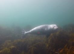 Nieuwsgierige zeehond (video)