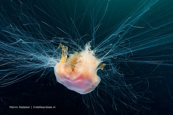 Lions mane jelly - Rode haarkwal